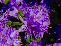 Purple rhododendron flowers, selective focus Ericaceae Royalty Free Stock Images
