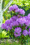 Purple Rhododendron. Flowers in the small grarden Royalty Free Stock Photo