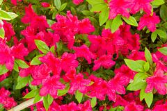 A purple rhododendron Stock Images