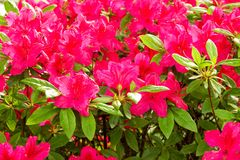 A purple rhododendron Royalty Free Stock Images