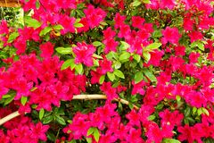 A purple rhododendron Stock Photography