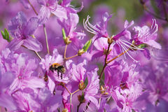 Purple rhododendron with an insect. Purple blooming rhododendron with an insect and surrounded by green leaves Royalty Free Stock Photos