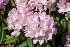 Purple rhododendron plant in a garden Royalty Free Stock Photos