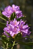Purple Rhododendron shrub in bloom Stock Photo