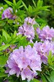 Purple rhododendron Royalty Free Stock Images