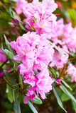 Purple rhododendrons in bloom Royalty Free Stock Photos