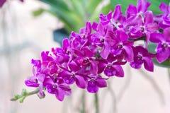 Purple Rhynchostylis gigantea Orchid. Beautiful Rhynchostylis gigantea in Thailand,Close up of beautiful orchid.,Rhynchostylis gigantea (Lindl.) Ridl Royalty Free Stock Photos