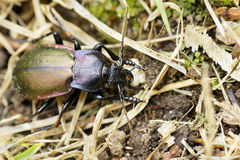 Purple-rimmed carabus beetle top view. Looking at the beautiful, shinny purple-rimmed ground beetle (Carabus nemoralis) in the grass Royalty Free Stock Image
