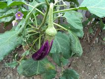 eggplant plant stock image