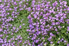 Purple rockcress flowers in fullframe background. Purple rockcress flowers in fullframe background Stock Photography