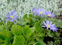 Purple rocky daisy flower Stock Images