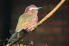 Purple roller Royalty Free Stock Photos