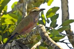 Purple Roller (Coracias naevius) Royalty Free Stock Images