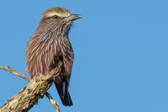 Purple Roller royalty free stock images