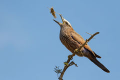 Purple roller sit on branch eating grasshopper Royalty Free Stock Images