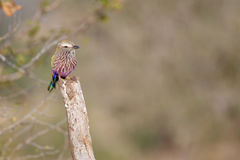 Purple roller Royalty Free Stock Image