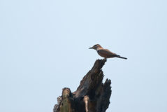 Purple roller Royalty Free Stock Photography