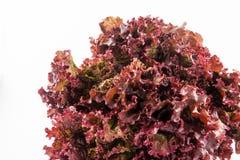Purple romaine lettuce Lactuca sativa Stock Photos
