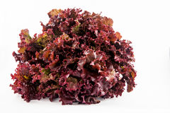 Purple romaine lettuce Lactuca sativa Royalty Free Stock Photos
