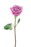 Purple rose Stock Images