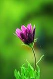 Purple rose Royalty Free Stock Image