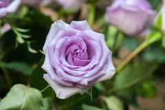 Purple Rose Royalty Free Stock Photo