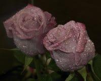 Free Purple Rose Stock Photos - 79424233
