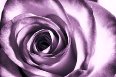 Purple rose Stock Photos