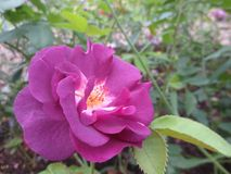 Purple rose on a background of leaves in the flowerbed on a Sunny summer day. Stock Images