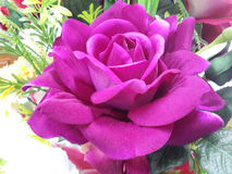 Purple rose. Royalty Free Stock Image