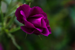 Purple Rose blossom. Single purple Rose blossom with blurred background Stock Photos