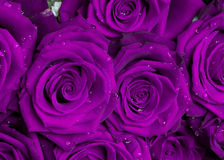 Purple rose bouquet. Macro shot of a purple roses bouquet Royalty Free Stock Photos