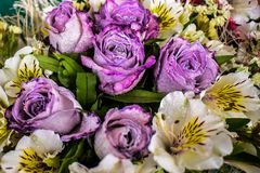 Purple rose bouquet with white flower around. Rose petals Stock Photography