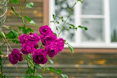 Purple rose bush growing in front of a window of a country house