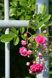 Purple rose climbing on a garden fence Royalty Free Stock Photo