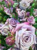 Purple rose Stock Photos
