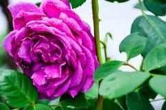 Purple Rose Royalty Free Stock Photos