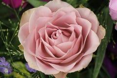 Purple rose close up Royalty Free Stock Image