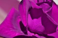 Purple rose closeup Royalty Free Stock Photography
