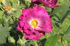 Purple rose Stock Image