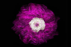 Purple rose on the dark background Stock Photography