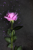 Purple rose on dark background, top view Stock Image