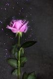Purple rose on dark background, top view Stock Image