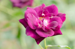 Purple rose flower blossom. In a garden, Decoration flowers Stock Image
