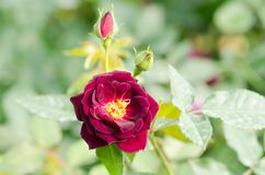 Purple rose flower blossom in a garden Stock Photography