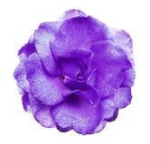 Purple rose flower  on white isolated background with clipping path  no shadows. Rose with drops of water on the petals. Closeup. Royalty Free Stock Image