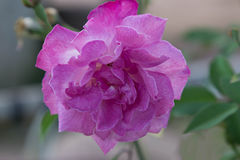 Purple Rose Royalty Free Stock Images
