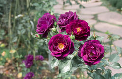 The purple rose Royalty Free Stock Images