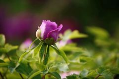 Purple rose in garden. Close up of purple rose bud in green sunny garden royalty free stock photos