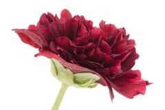 Purple rose hollyhock flower closeup Stock Photo
